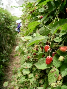 Youngberry pickers