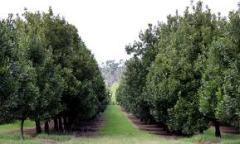 nut grove